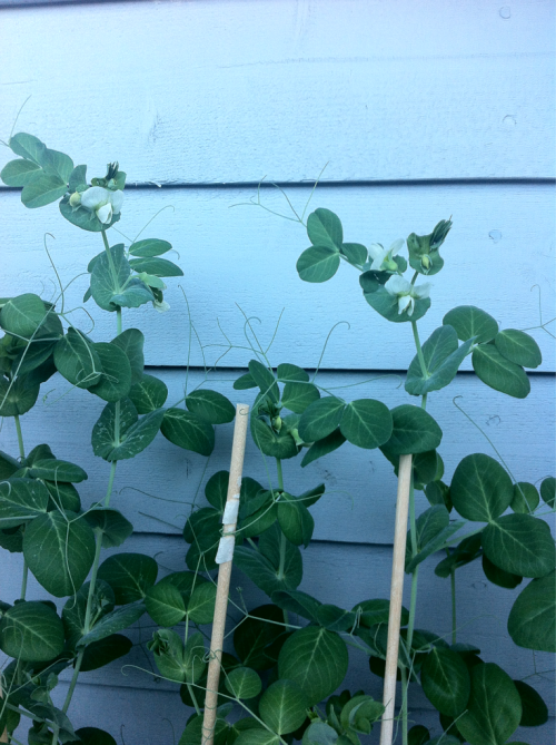 My peas are going to have babies!