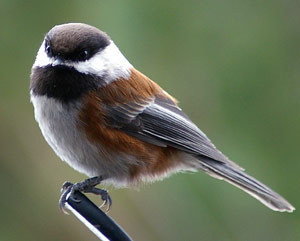 avianawareness:  This is a real Chickadee, which is equally cute to my Lovebird named Chickadee. =3