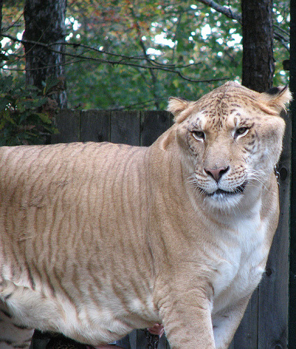 Ever heard of a Liger?
