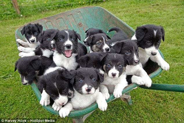 Room for one more? The gorgeous collie pups were part of a giant litter thought to be twice as big as normal when their mother had 14 youngsters  Read more: http://www.dailymail.co.uk/news/article-2160961/Star-sheepdog-gives-birth-adorable-14-pup-litter-big-carted-wheelbarrow.html#ixzz1yAtwlKfW