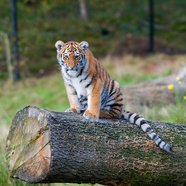 Tiger by p1eter on Flickr.