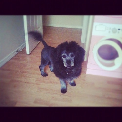My sister's dog looks like a lion. No big deal.. (Taken with Instagram)