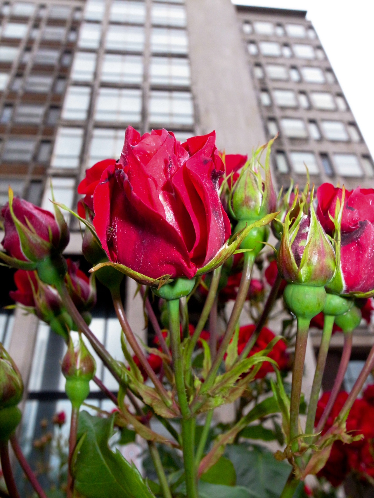 the rose in front of the towerblock