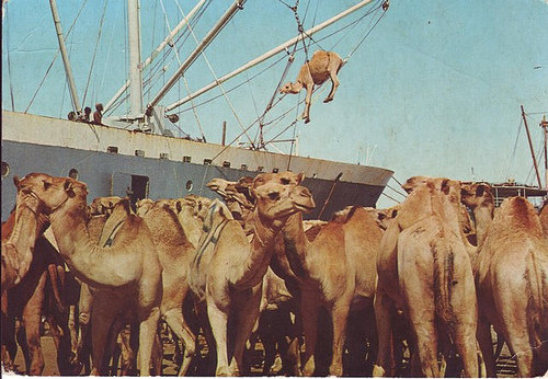 vintagesomalia:  Somalia has the world's largest population of camels. Camel's have had an important place in Somali life, economy and history and they continue to do so to this day. Camels are remarkable creatures. They are one of the few animals able to survive in harsh climates. They have strong immune systems and can last days without water because of their ability to store water in their blood system. They also produce more milk than cows, and have more energy than most animals. They can control their temperature too and not to mention their transportation capabilities.    #vintagesomalia