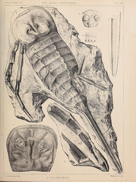 Stylonurus by BioDivLibrary on Flickr. A monograph of the British fossil Crustacea,.London,Printed for the Palæontographical Society,1866-78..biodiversitylibrary.org/page/37092476