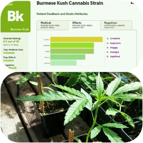 what #leafly has to say about our newest girl, burmese! ☆☆☆☆☆ (Taken with Instagram)