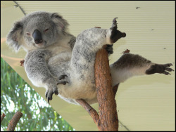 This koala knows how to strike a pose lol.