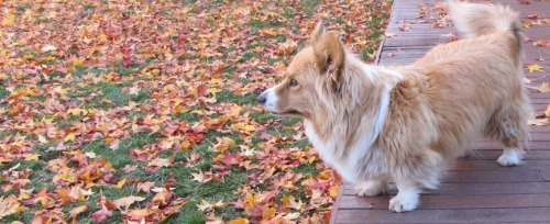 fuckyeahcorgi:  Biscuit, tousled Queen of Autumn.
