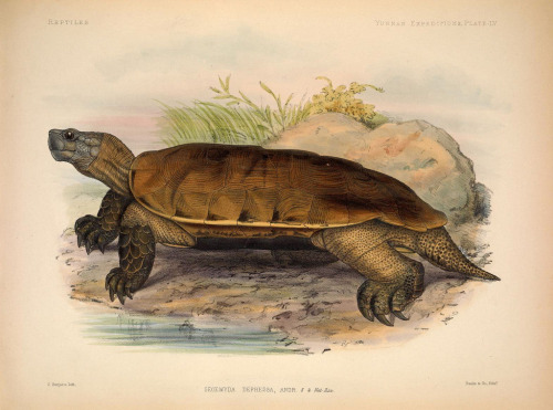 biomedicalephemera:  rhamphotheca:  Arakan Forest Turtle (Geoemyda depressa now Heosemys depressa) - Arakan Hill Range, Western Mayanmar from Anatomical and zoological researches v.2., London, B. Quaritch, 1878. (via: biodiversitylibrary.org/page/34177985) * The Arakan Forest Turtle was thought extinct since 1908 until spotted in a Chinese food market in 1994!   Speaking of Lazarus taxon…