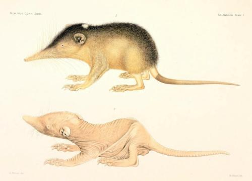 "Young female solenodon at 3-days-old (bottom) and immediately after hairy coat has grown in (top) The Cuban solenodon (Solenodon cubanus), or almiqui, is one of the few mammals with truly venomous saliva, and is also one of the rarest extant animals on earth. There have been fewer than 37 individuals captured since the species was discovered in 1861. At multiple points in natural history, the almiqui has been assumed extinct, since it had not been spotted in over 50 years (as was the case when it was declared extinct in 1970), or had not been located after extensive professional tracking efforts (as was the case in the early 1990s). However, one individual was photographed by a trained field zoologist in 1999, and an individual known as ""Alejandrito"" was captured, measured, and released in 2003, and his DNA was confirmed to be that of the almiqui. The initial cause of ""extinction"" was likely the introduction of the Asian mongoose around 1550 C.E., which decimated the population in all areas that it was able to access. However, the Cuban solenodon is capable of living at much higher elevations than any mongoose, and has managed to survive the centuries with a tiny breeding population near the tops of the highest peaks in Cuba. Source: [Solenodon. Glover Allen, 1910.]"