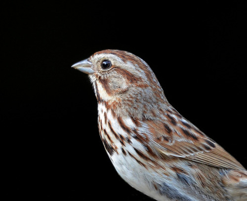 fuckyeahsparrows:  Portrait of a Song Sparrow by KoolPix on Flickr.