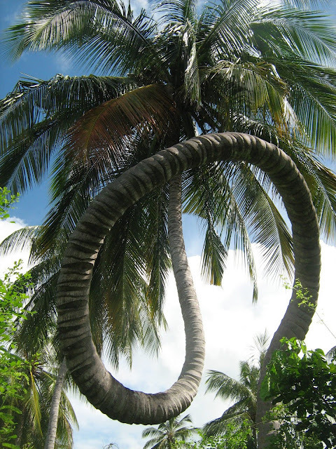 The Rolling Coconut Tree at Chole Island (Mafia), southern circuit of Tanzania (part of the Spice Islands).