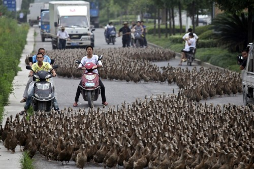 WADDLE ROOM   Farmers herded ducks on a street toward a pond as residents drove next to them in Taizhou, Zhejiang province, China, Sunday. (Photo: China Daily / Reuters via The Wall Street Journal)