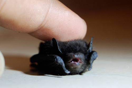 catbountry:  Boop.    i will always reblog cute photos of bats.