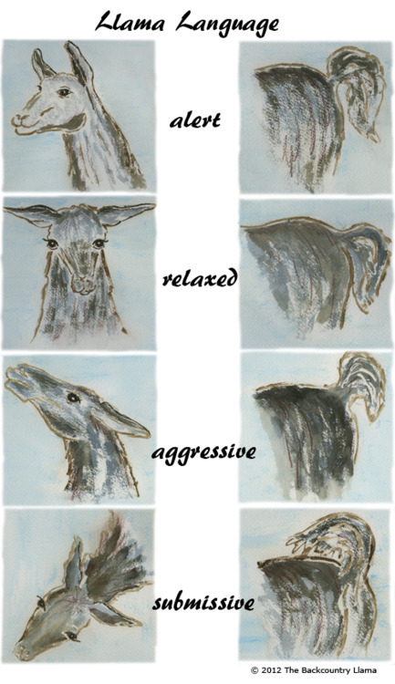 ilovecharts:  body language of llamas