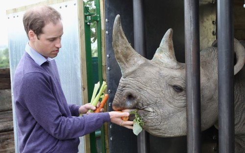 Prince William, Duke of Cambridge feeds a 5 year old black rhino called Zawadi at Port Lympne Wild Animal Park.  Picture: Getty Images