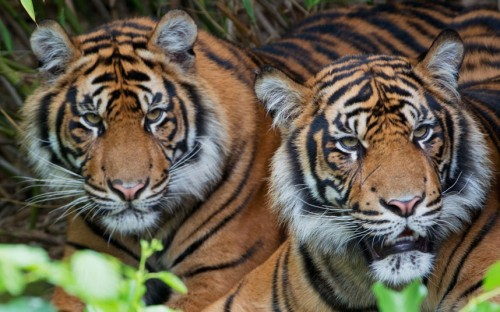 A pair of Sumatran tigers in their enclosure at the zoo in Frankfurt.  Picture: BORIS ROESSLER/AFP/GettyImages