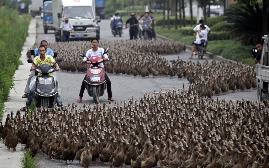 theanimalblog:  Farmers herd a flock of about 5000 ducks along a street towards a pond as residents drive next to them in Taizhou, Zhejiang province.  Picture: REUTERS/China Daily