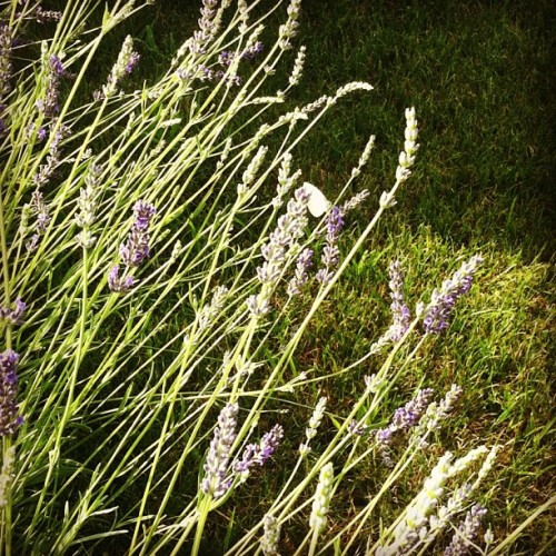 Lavander and white butterfly (Scattata con Instagram presso Casa mia)
