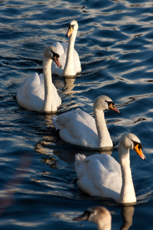 row of swans.