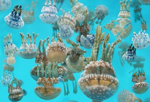 "montereybayaquarium:  Learn more about our special exhibition, ""The Jellies Experience.""  Follow us on Twitter.   Jellies will always astound me.  (and so will jelly shoes - but for a totally different reason.)"