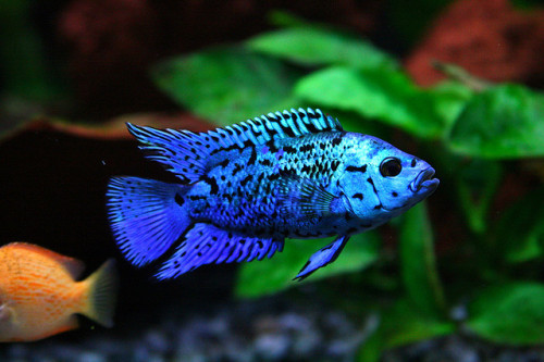 rhamphotheca:  giraffe-in-a-tree: Electric Blue phase Jack Dempsey (Cichlosoma octofasciatum) (photo by cdpross | Flickr)