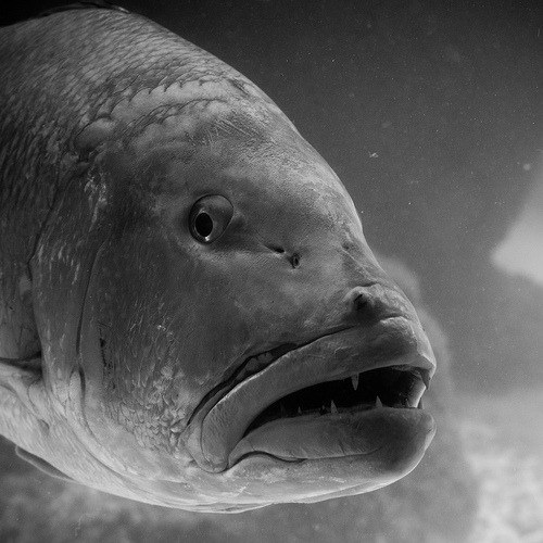 Grouper. (Thomas Hawk)