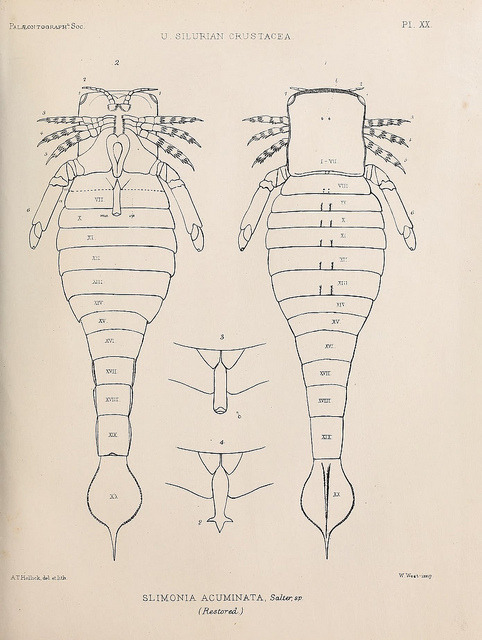 A monograph of the British fossil Crustacea by BioDivLibrary on Flickr. London,Printed for the Palæontographical Society,1866-78..biodiversitylibrary.org/page/37092412