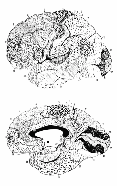 psydoctor8:  Cytoarchitectonics of human brain according to Brodmann (1909) [via] AKA: My down-time coloring book because finding things on a diagram is a lot different than finding things on a scan people.