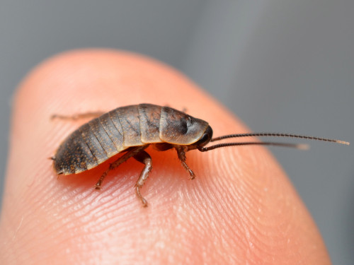 macrodan:  A newborn Madagascar hissing roach, only about a week old.