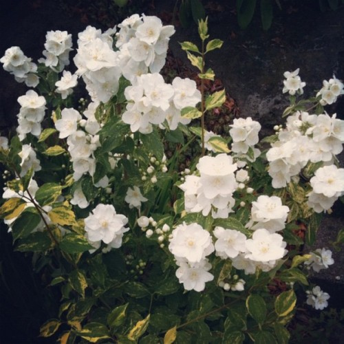 My Philadelphus in full bloom today. Smells so good! #garden #flower  (Taken with Instagram)