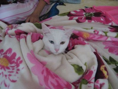 catsinblankets:  owakura:  My cat, Andrej, an odd-eyed male who's not afraid to wear some pink :)
