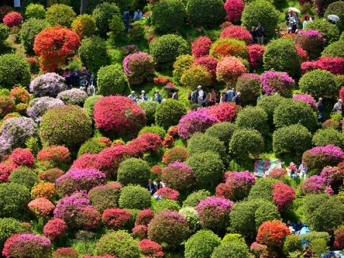 Azaleas in Bloom. Photograph by Jose Fuste Raga/Corbis