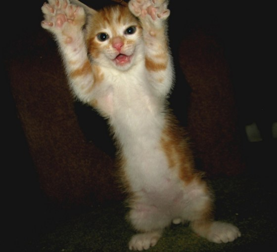 Cute attack with extra toes! Photo/caption via Love Meow - for Ultimate Cat Lovers