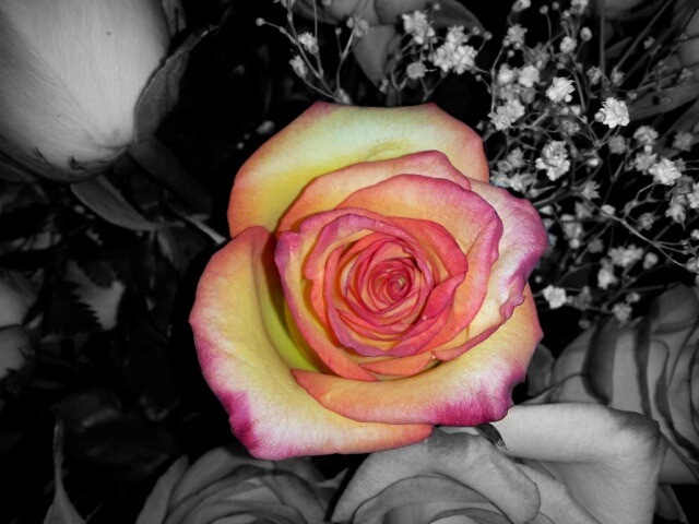Yellow, Red, Pink Rose on Flickr.