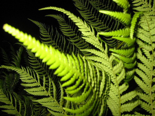 Fern by Leithcote on Flickr.[Image: A fern, looking, uh, ferny.]