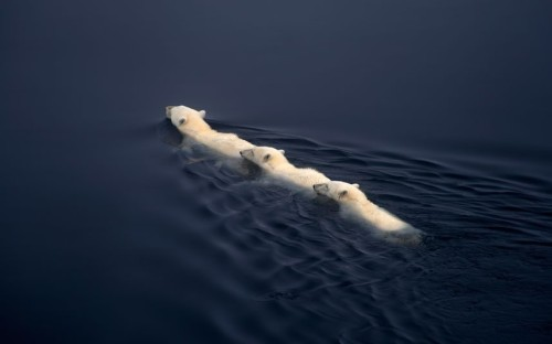 funnywildlife:  A polar bear and her two six-month-old cubs swim back to shore in Svalbard, Norway. by Dennis Bromage / Barcroft Media