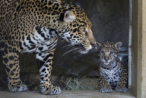 "sdzoo:  Jaguar Cubs Pounce Onto Exhibit - Tikal and Maderas finally ventured out of the ""cave"" area today. It's only a matter of time until they start tearing up the grass and climbing all over."