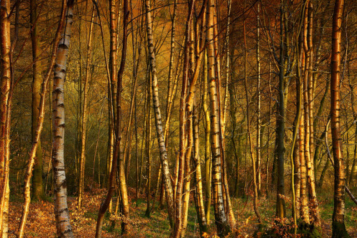 tangledleaves:  Birch Trees near Grasmere by Steve Thompson