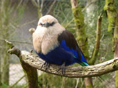 Blue-bellied roller by ~SSJGarfield.