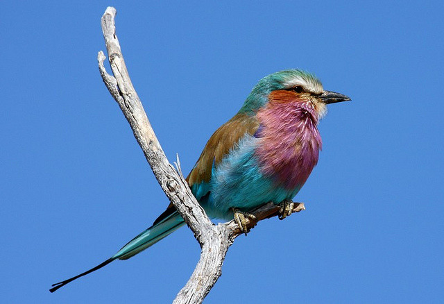 fat-birds:  Lilac Breasted Roller by NZSam on Flickr.