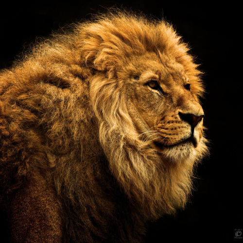 Lion on black by Christian Meermann
