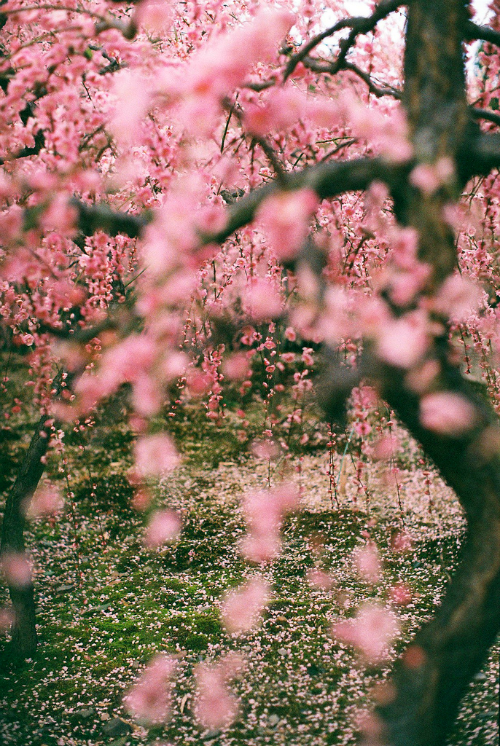 The speed at which cherry blossoms fall is five centimetres per second.