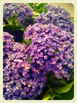 Hydrangea#andrography #CapturedMoment #color #Random #flower #plant #streamzoo #Japan(from @256x on Streamzoo)