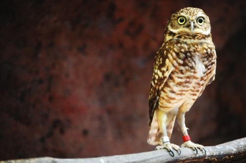 theanimalblog:  North American Burrowing Owl (photo by Nicole Nichols)