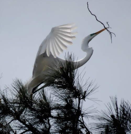 Great White Egret Week: Submission No. 4.  Nest construction in loblolly pine. This photo was taken in Norfolk, Virginia in April 2011. Previously published.