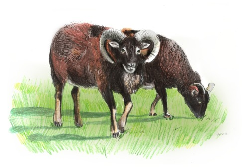 Two primitive breeds of sheep; the Soay (in the foreground) and the Hebridean. Soay sheep are believed to be descended from one of the earliest forms of domesticated sheep and live wild on the uninhabited islands of St Kilda. Hebridean sheep are also an early form of domesticated sheep.  Once very rare it is now seen all over the Hebrides and its wool is once again being spun for jumpers! Both of these animals are perfect for conservation grazing, they eat very little and don't need to be grazed on the hills unlike domestic herds. They are very hardy, and they produce beautiful shades of wool often on the same animal in variations of black, grey, and brown.