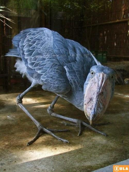 gdfalksen:  SHOEBILL STORK Balaeniceps rex by ZulaNews This species was only classified in the 19th century when some skins were brought to Europe. It was not until years later that live specimens reached the scientific community. However, the bird was known to both ancient Egyptians and Arabs. There are Egyptian images depicting the Shoebill, while the Arabs referred to the bird as abu markub, which means one with a shoe, a reference to the bird's distinctive bill. Shoebills feed in muddy waters, preying on fish, frogs, reptiles such as baby crocodiles, and small mammals. They nest on the ground and lay from 1 to 3 eggs, usually during the dry season. The population is estimated at between 5,000 and 8,000 individuals, the majority of which live in Sudan. BirdLife International have classified it as Vulnerable with the main threats being habitat destruction, disturbance and hunting.  OMG Living Dinosaur!