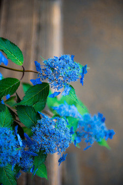 Hydrangea by shinichiro* on Flickr.