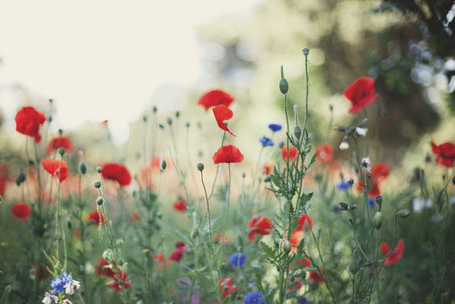 for the love of poppies ii by the cheshire smile on Flickr.